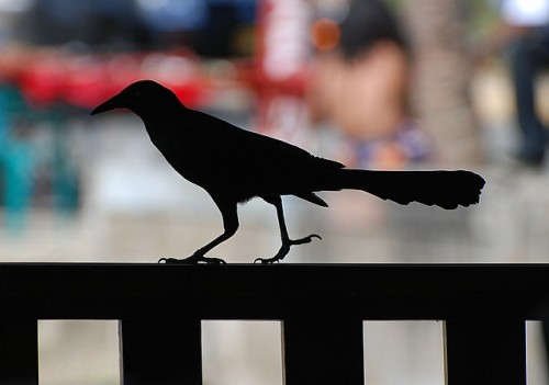 Grackle strut
