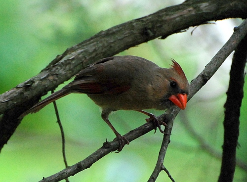 Female cardinal, May 23, 2008, Narberth, PA