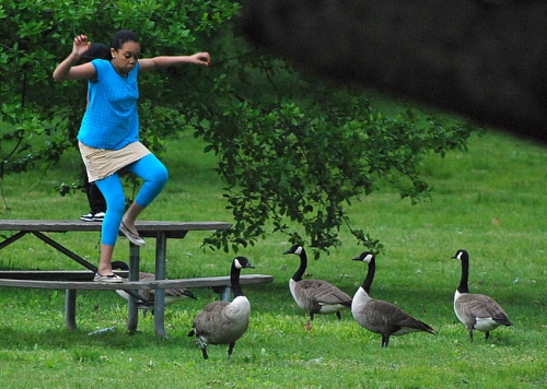 Quartet of geese watches a park visitor.