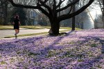yard blanketed with crocuses