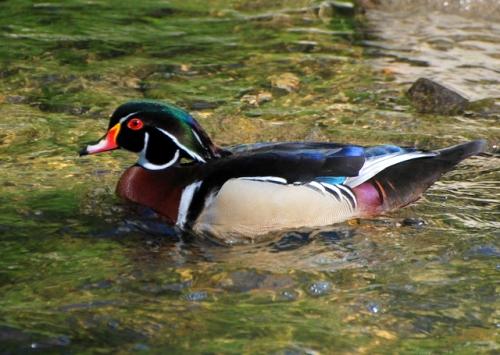 Wood duck on the Wissahickon, Philadelphia