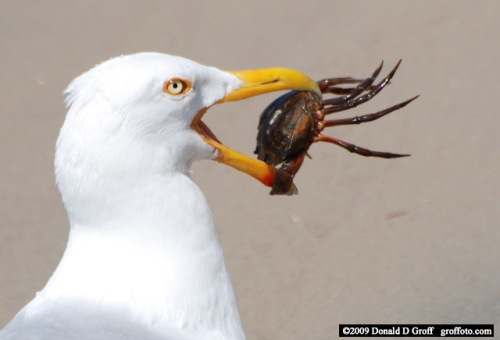 Seagull nabs a crab