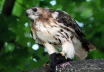 Red-tailed hawk with eye of tiger
