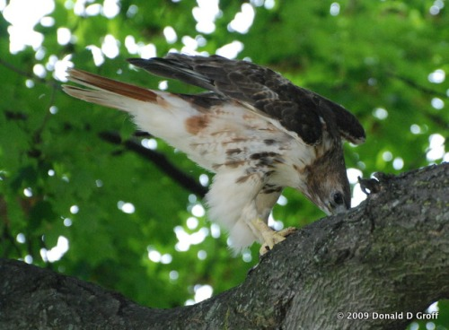 Red-tailed hawk, beak to bark