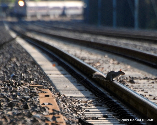 Squirrel on the tracks, Wynnewood, PA