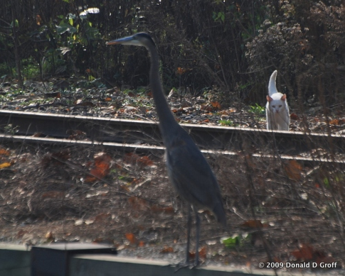 White cat stalking heron along Manayunk canal, Philadelphia.