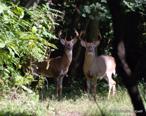 Two curious bucks