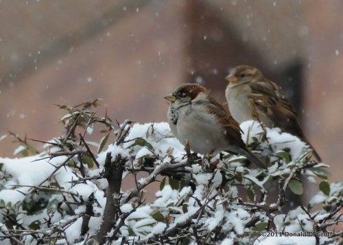 Sparrows on a snowy morning, Narberth