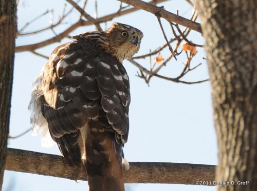 Hawk that gawks