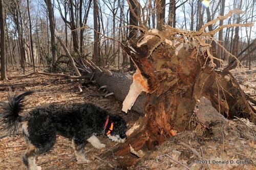 pine tree takes a dive, wynnewood, PA