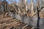 pine tree down