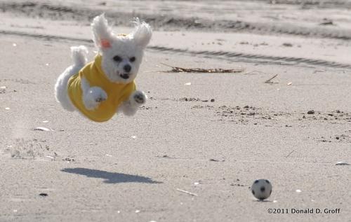 Toy poodle hurls toward bossed ball, Ocean City, NJ