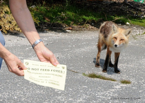 Wary fox & 'do not feed the foxes' flier, Island Beach State Park, NJ