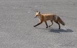 fox trotting across a lot, Island Beach State Park, NJ