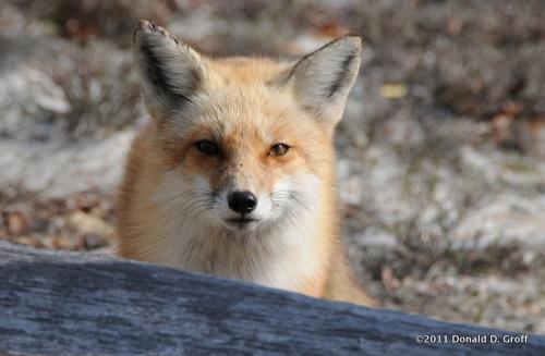 Fox awaiting handout, despite its regal appearance.