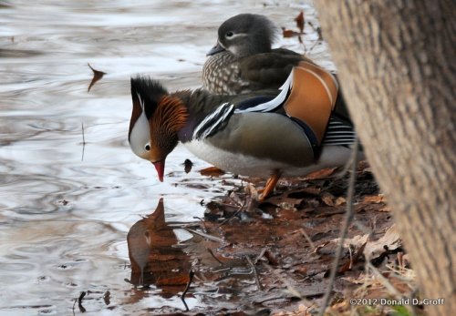 Mandarin ducks, Sedona, January 2012